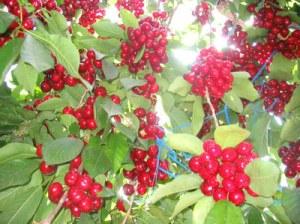cherries (1)