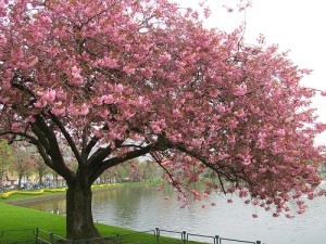 Love cherry trees in the spring